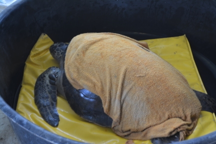 Zimba, tortuga liberada en Isla de la Plata